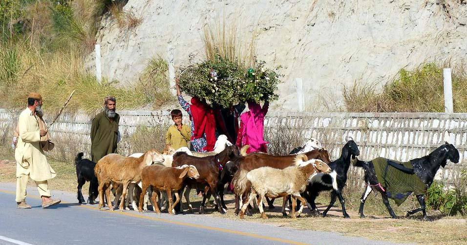 A small herd of goats passing 3 women with loads of fodder on their heads.