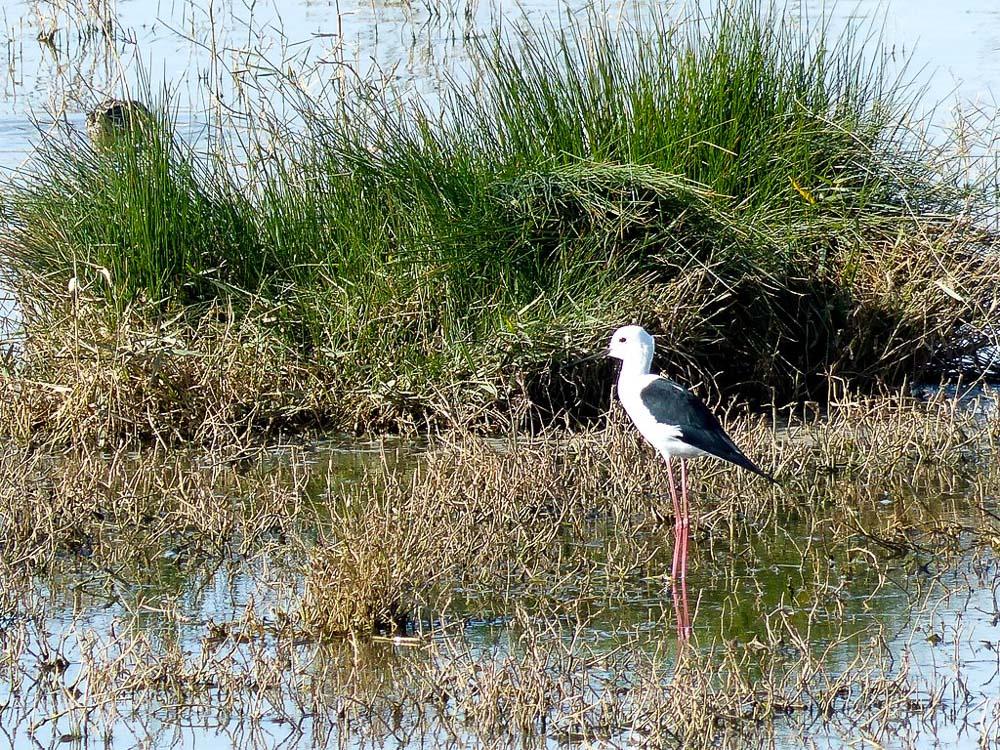 Long legged migratory bird at Kallar Kahar (can you identify?).