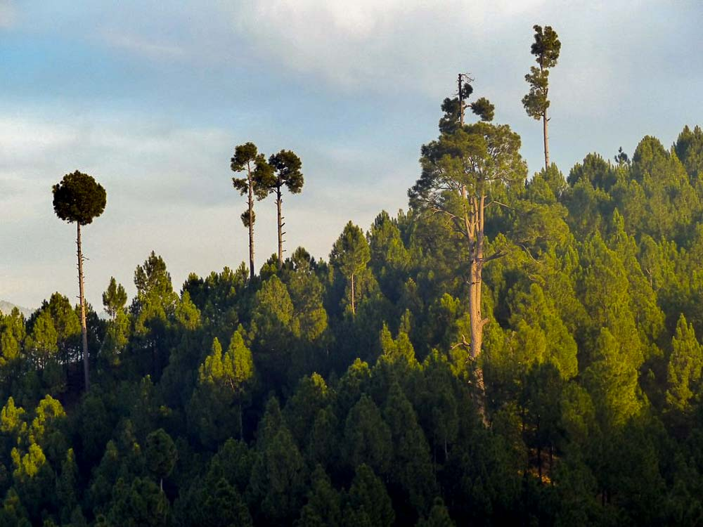 Pine forest on the lower elevations.