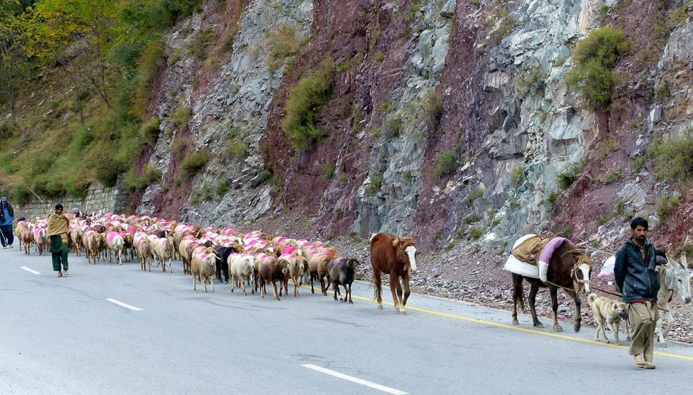 A herd of sheep and some goats on their way down the mountain for the winter. Flocks like this travel up to 300 km to find pasture at lower altitudes.