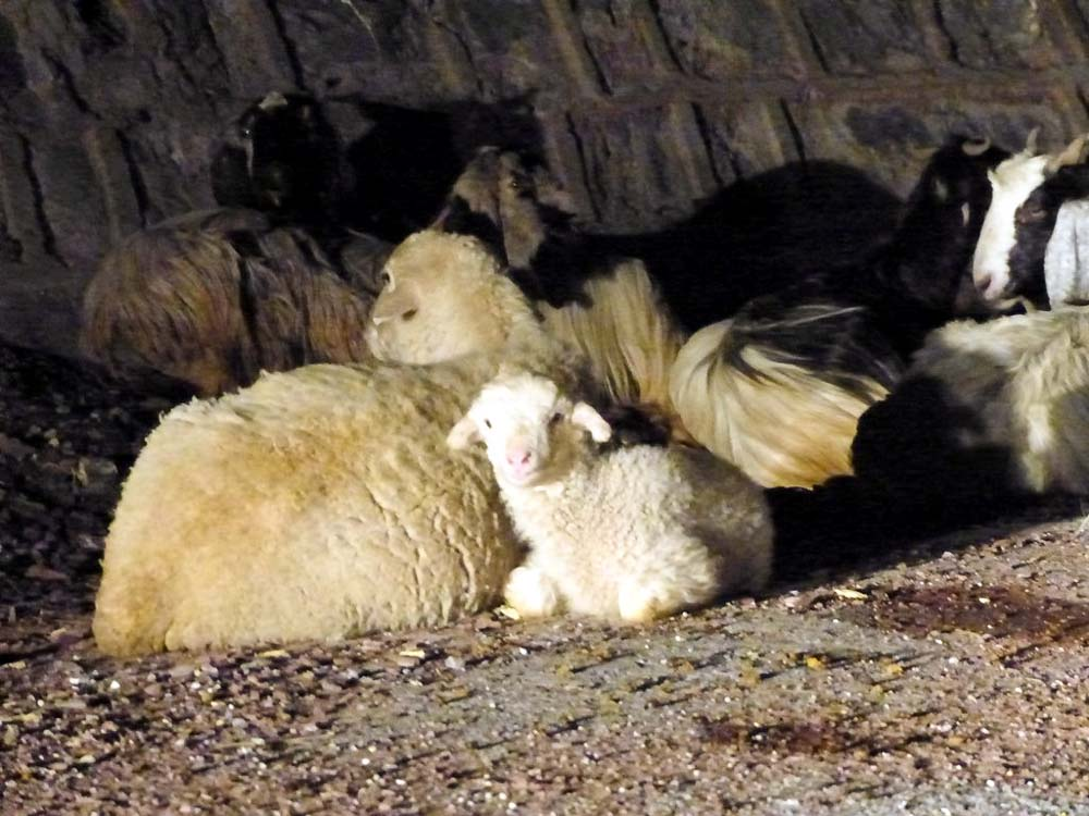 We met some more sheep bedding down for the night right on the road.