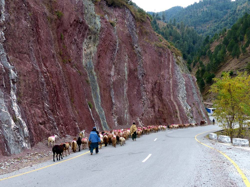 Roads are the easiest to walk on so they are the migration route for herds like this.