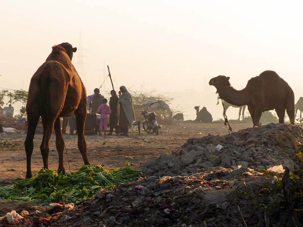 Semi nomadic people camp out with their camels along the Ravi River