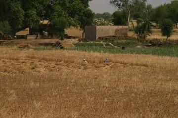 Harvesting outside the village of Darianwala