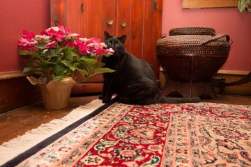 rug-cleaning-cat-02
