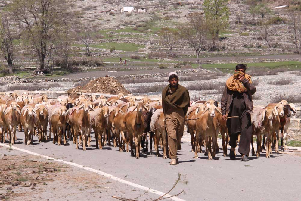 rug production sheep